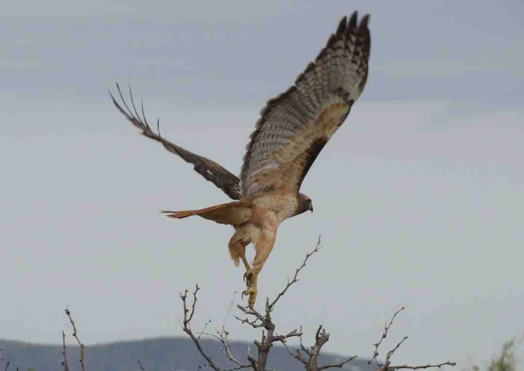 How to Catch a Hawk