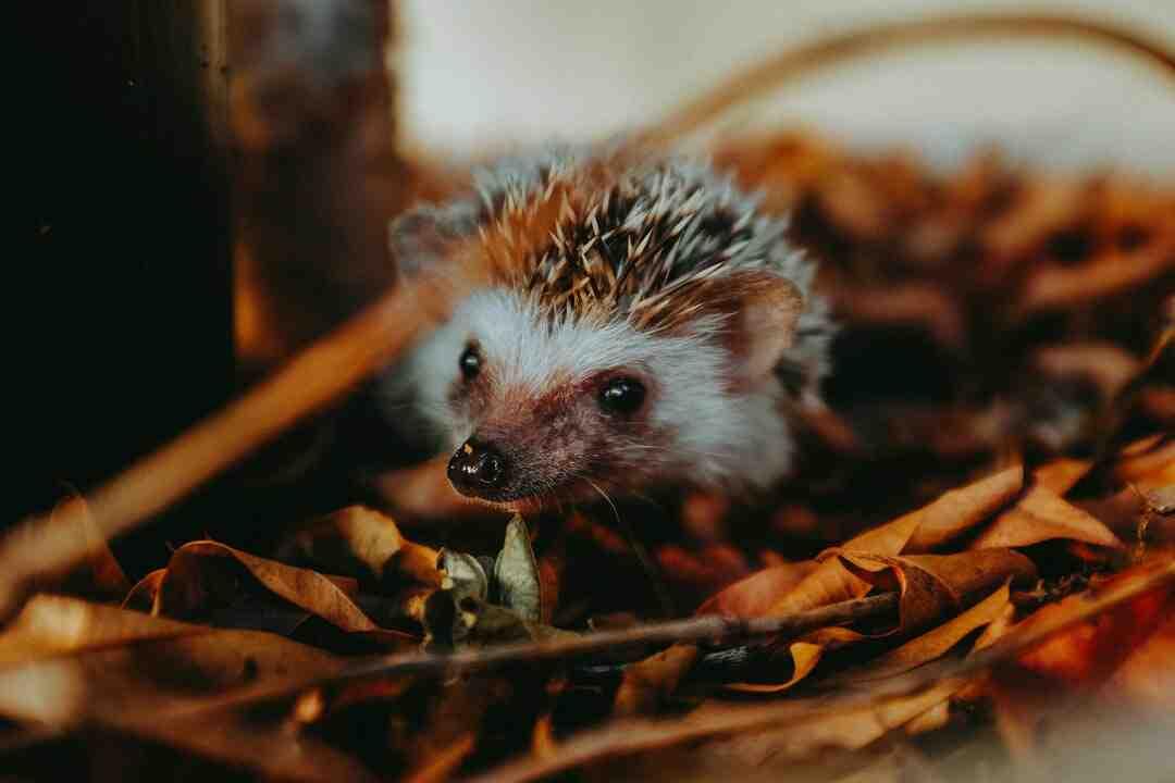 Do hedgehogs have predators?