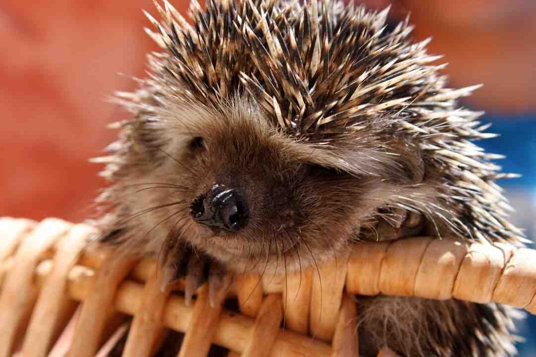 How do hedgehogs protect themselves
