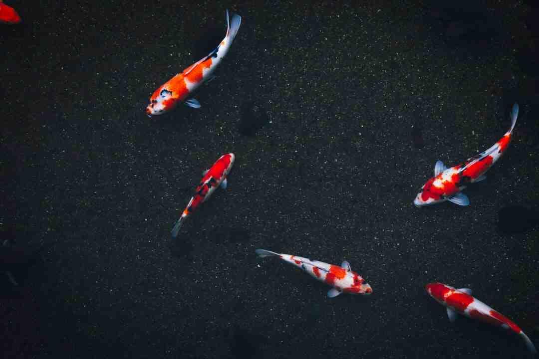 How koi fish breed
