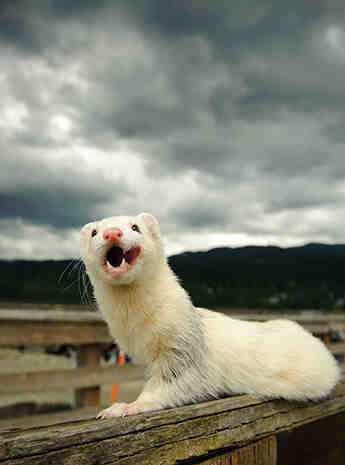 How long do black-footed ferrets stay with their mom?