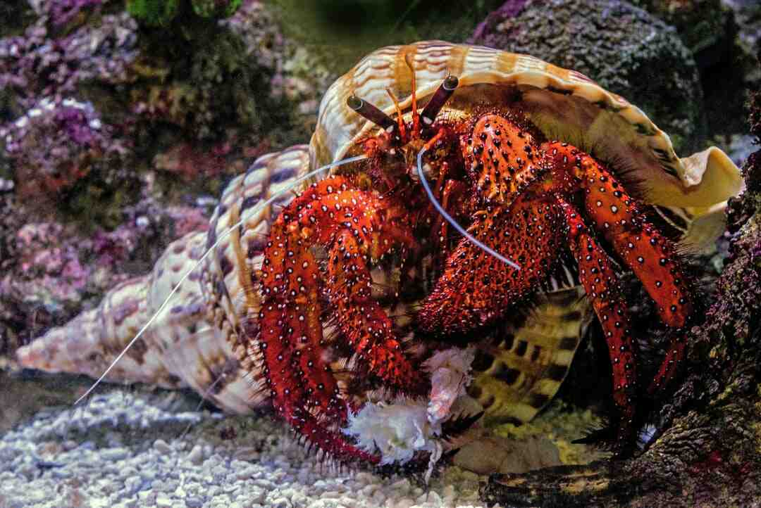 How to Clean a Sea Shell (for Hermit Crabs)