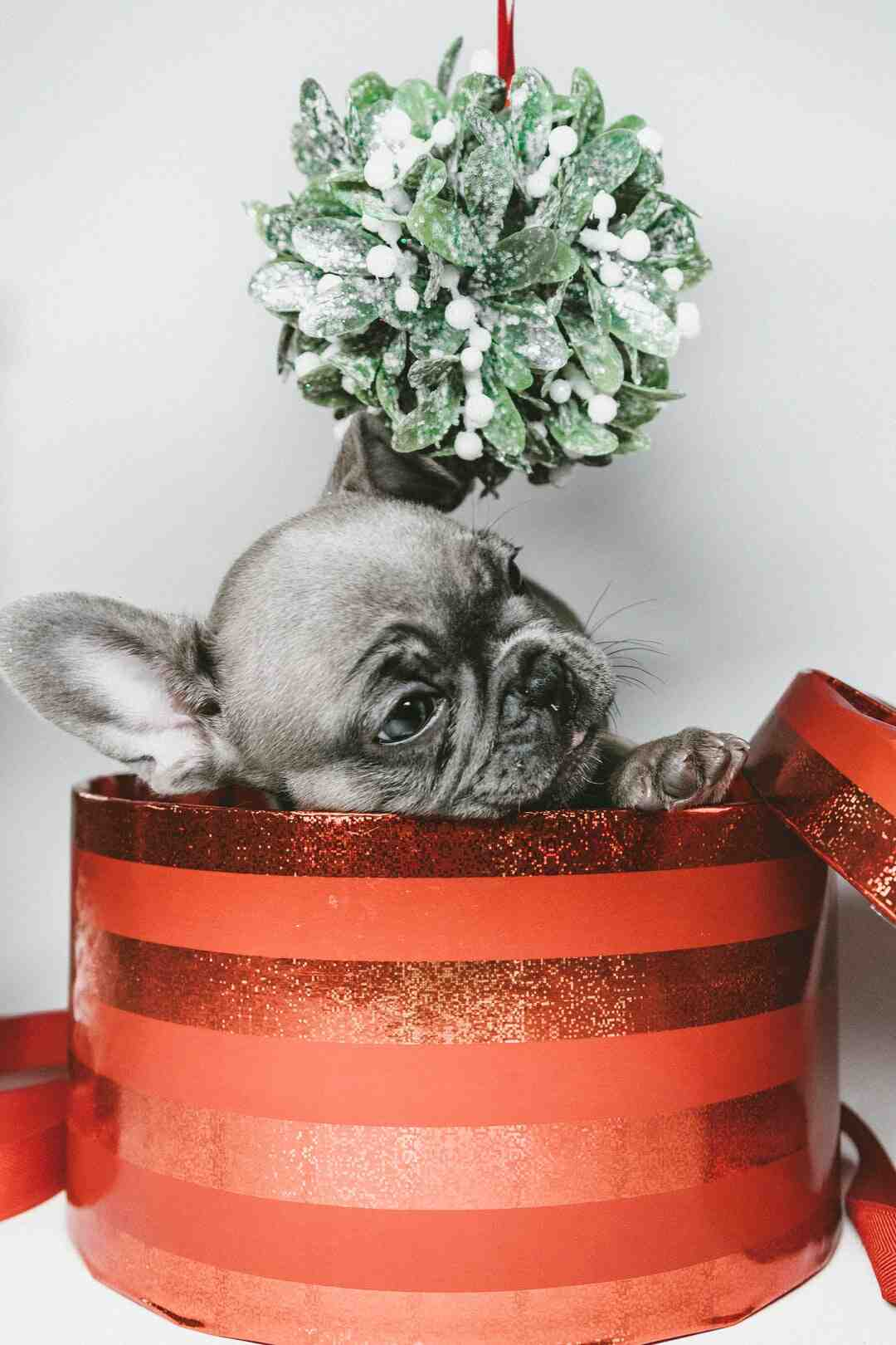 How to Give a Puppy As a Christmas Gift