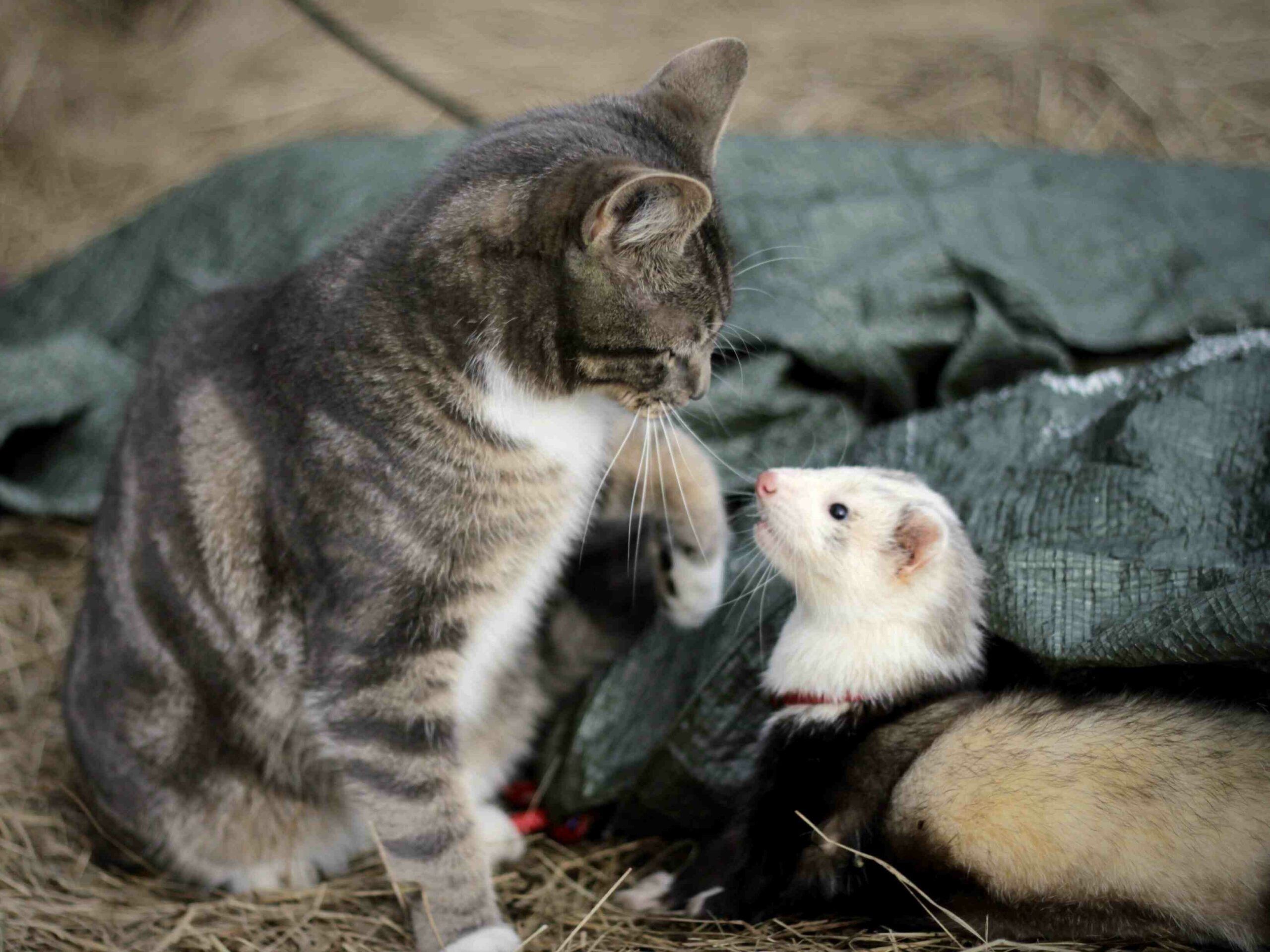 How to Play with a Pet Ferret