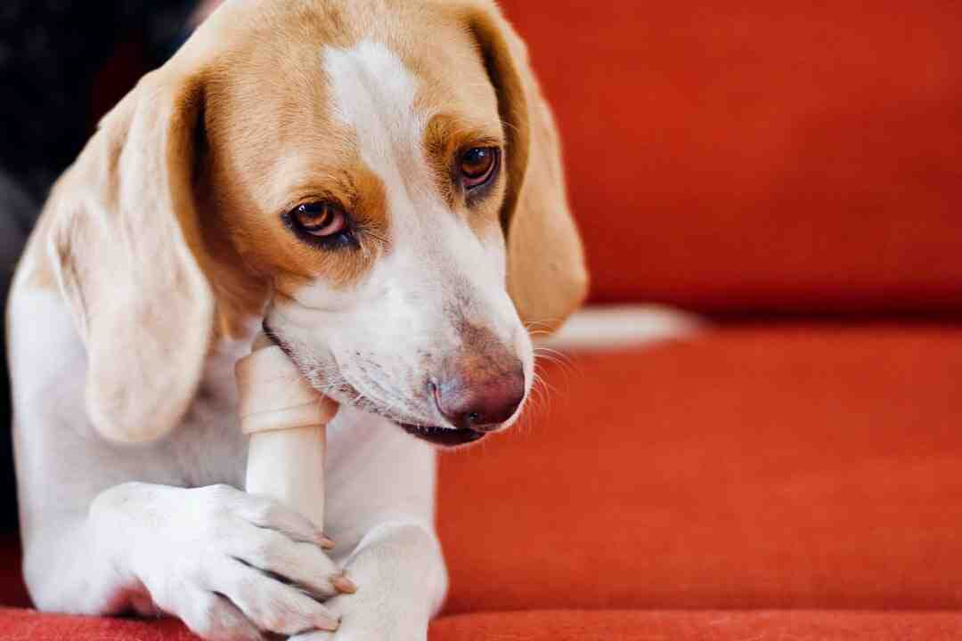 How to Take Care of a Beagle Puppy