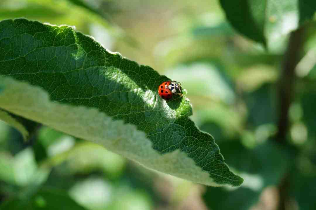 Ladybugs eat