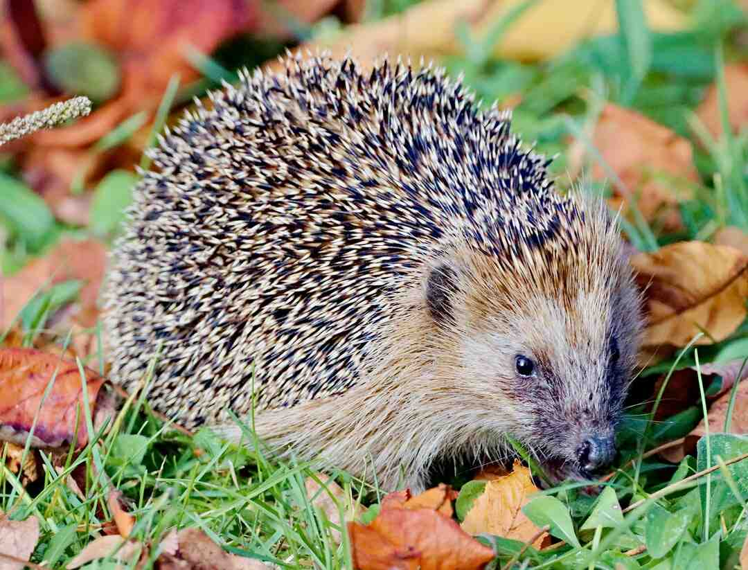 What do hedgehogs like to play with