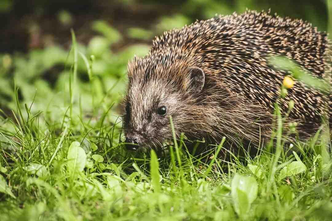 What do hedgehogs like