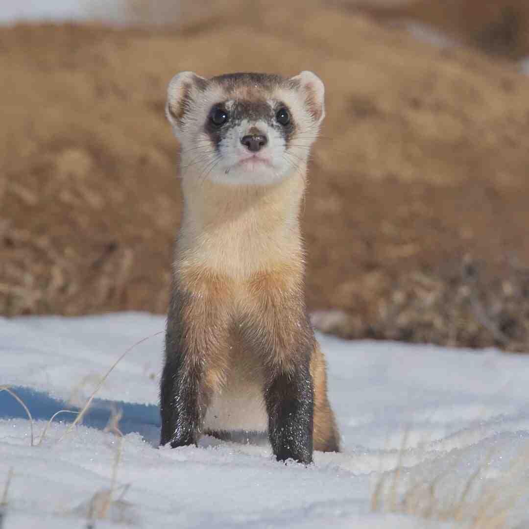 What ferrets eat