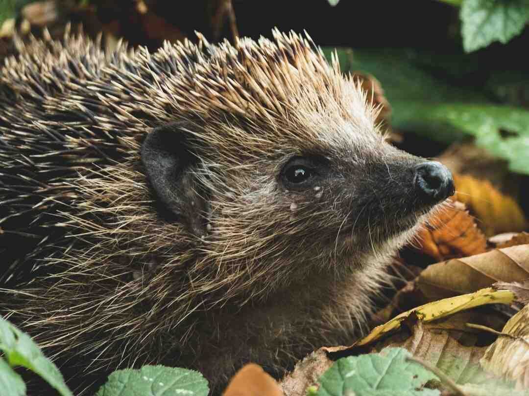 Where do hedgehogs come from